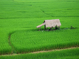 Half Day Wet Rice Growing Tour From Hotel Inside Hoi An City Only