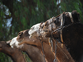 Oferta Navidad: Paseo en camello en Mojácar