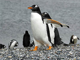 Walk with the Pinguins on Martillo Island
