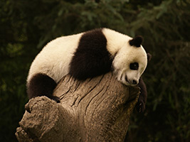 Private Half Day Tour to Panda Base