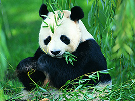 Full Day Chengdu Highlights of Panda Experience - Private